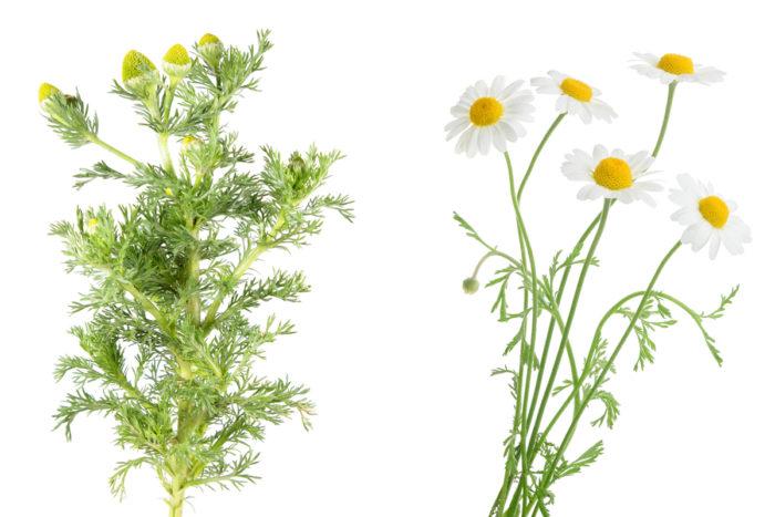 Gatkamomill blommor och knoppar.